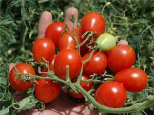 Reisentraube:  Abundant clusters of brilliant red cherry tomatoes