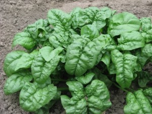 Spinach is a hardy plant for winter and is perfect for unpredictable late winter weather. Keep it moist by adding sufficient mulch to your garden and that will also help protect against it bolting with the first warm spring days.