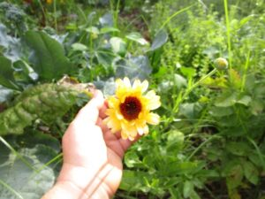 calendula in hand